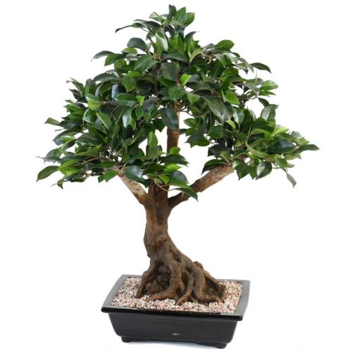 Bonsaï Ficus Artificiel H 55 cm D 60 cm en pot