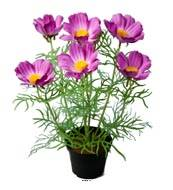 Cosmos fleuries artificielle en pot H 40 cm Pourpre-rose