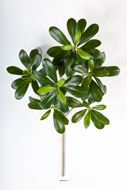 Branche de Pittisporum artificiel H 40 cm 66 feuilles