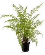Fougère artificielle proliferum en pot H 80 cm Vert