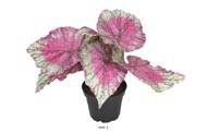 Bégonia royal factice en pot H20cm D22cm superbe couleur Rose fushia
