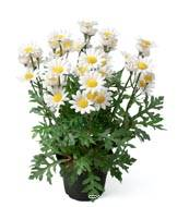 Marguerite artificielle en pot H 30 cm